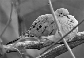 Dove napping 031117